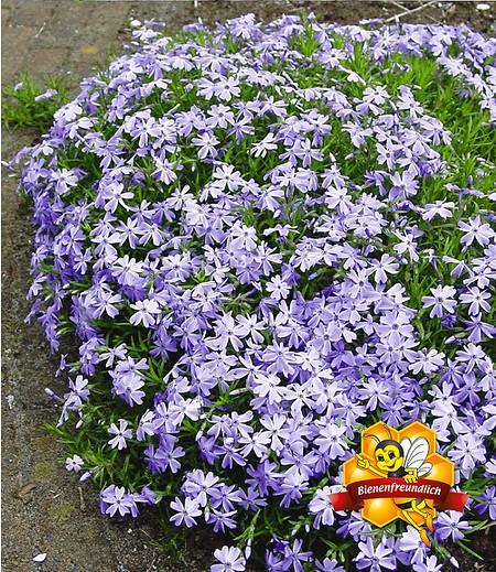 Blauer Teppich-Phlox,3 Pflanzen