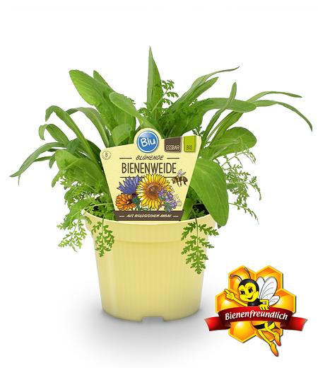 Blühende Bienenweide,1 Pflanze