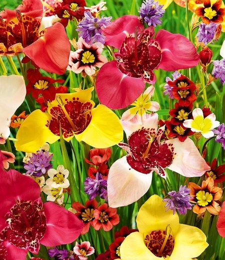 """Blumenzwiebel-Mix """"Blüten-Feuerwerk"""",20 Stück"""