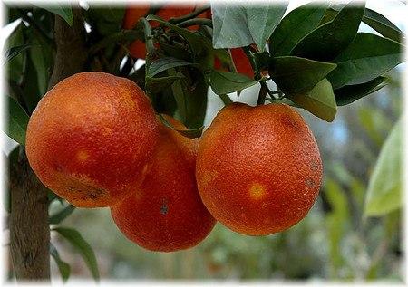 Blutorange Citrus sinensis ´Sanguinello`