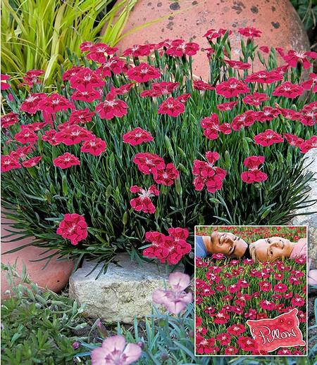 bodendecker nelke red pillow 3 pflanzen g nstig online. Black Bedroom Furniture Sets. Home Design Ideas