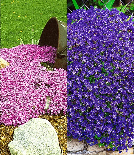 Bodendecker Polsterstauden-Kollektion rosa/blau,6 Pflanzen