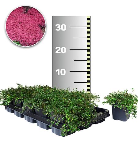 Bodendecker-Thymian 25 Stk.,25 Pflanzen