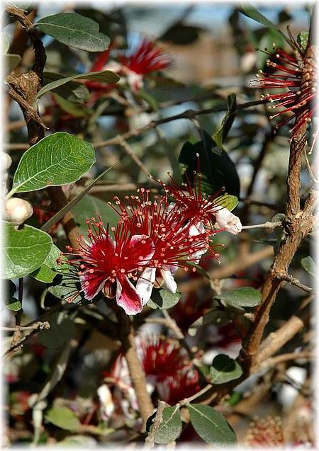 Brasilianische (Ananas) Guave Acca sellowiana
