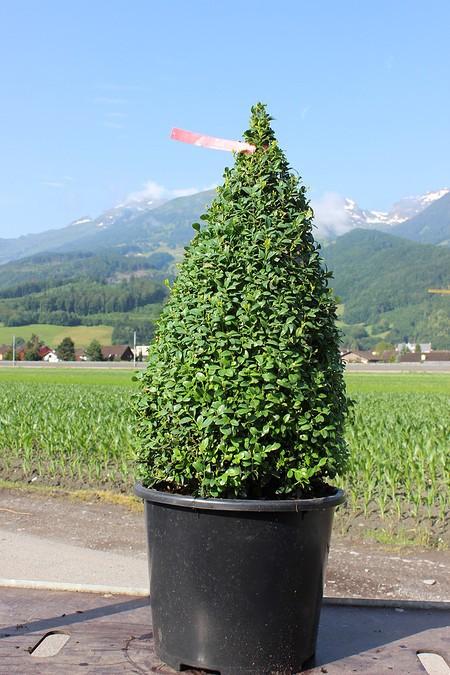 Buchs, Buchsbaum 'Arborescens'als Kegel geschnitten (70 cm)