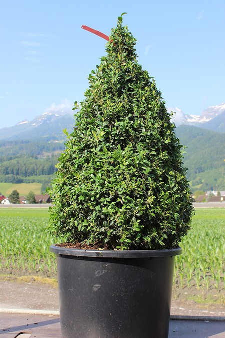Buchs, Buchsbaum 'Arborescens'als Kegel geschnitten (80 cm)
