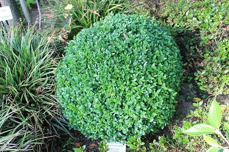 Buchs, Buchsbaum 'Arborescens'zur Kugel geschnitten (40 cm)