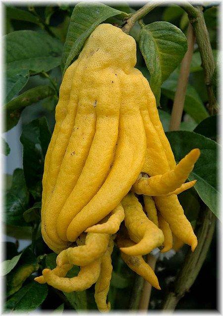 Buddha´s Hand Citrus medica ´Digita`