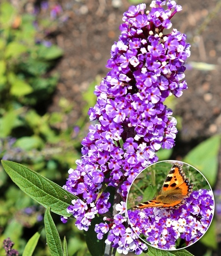 "Buddleia ""Berries and Cream®"",1 Pflanze"