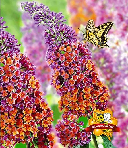 """Buddleia """"Flower Power®"""",1 Pflanze"""