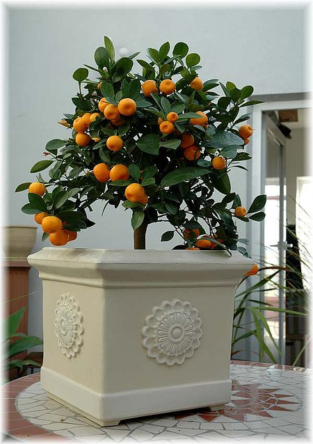 Calamondin Citrofortunella mitis