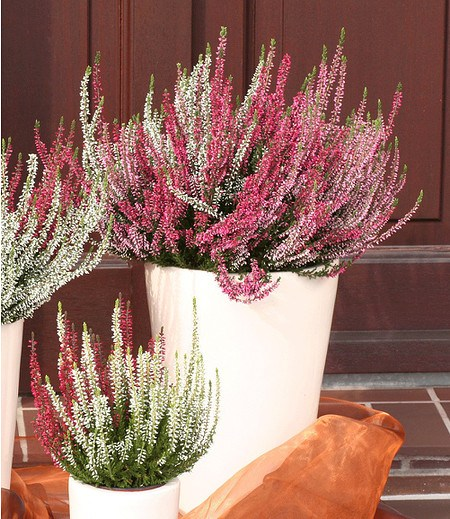 "Calluna ""Gardengirls®"" Farb-Mix Tricolor,3 Töpfe"
