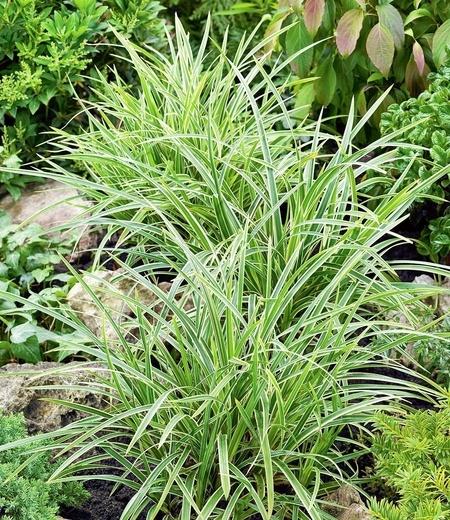 "Carex ""Ice Dance"",3 Pflanzen"
