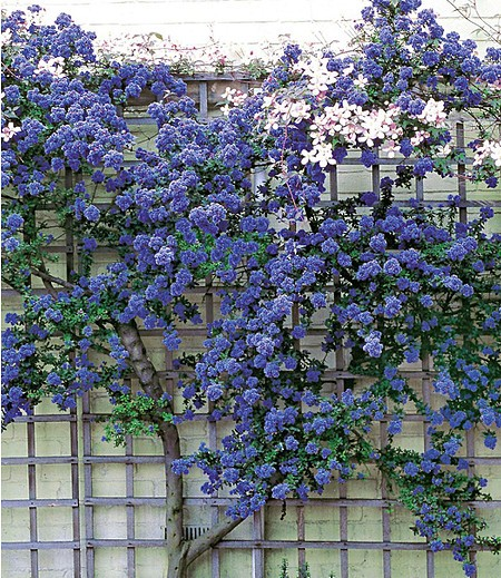 ceanothus trewithen blue 1 pflanze g nstig online kaufen. Black Bedroom Furniture Sets. Home Design Ideas