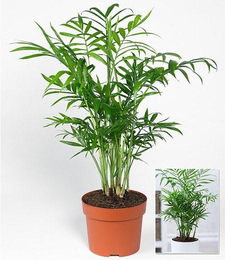 Chamaedorea Palme,1 Pflanze