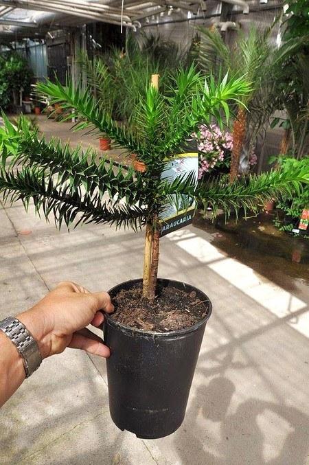 Chilenischen Araukarie - Araucaria araucana