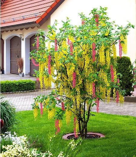 Chimären-Goldregen,1 Pflanze