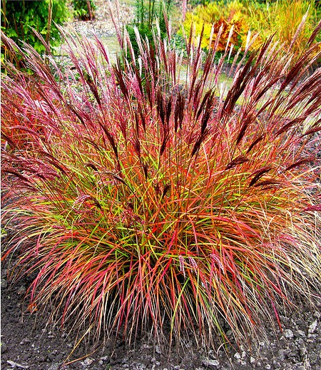 "Chinaschilf ""Red Chief"",1 Pflanze"