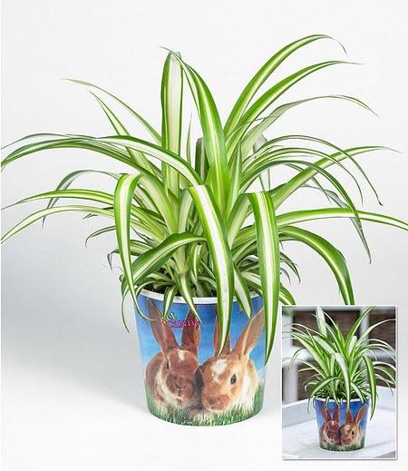 """Chlorophytum """"Hase"""",1 Pflanze"""