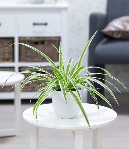 "Chlorophytum ""Variegatum"",1 Pflanze"