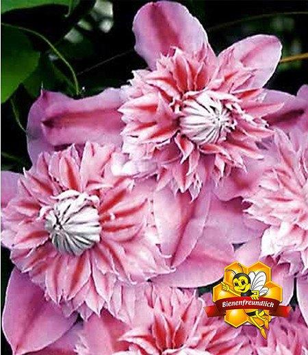 "Clematis ""Josephine TM Evijohill N"",1 Pflanze"