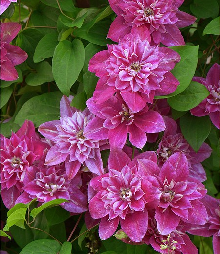 "Clematis ""My Darling"",1 Pflanze"