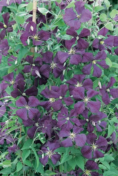 Clematis, Waldrebe 'Etoile Violette'