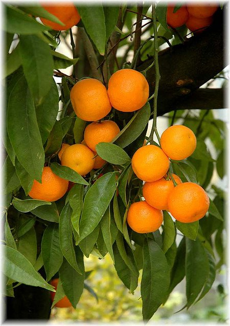 Clementine Citrus clementina