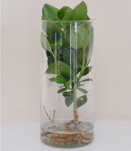 clusia mit glasgef 1 pflanze g nstig online kaufen mein sch ner garten shop. Black Bedroom Furniture Sets. Home Design Ideas
