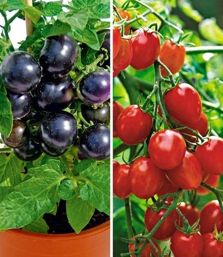Cocktail-Tomaten-Kollektion,4 Pflanzen