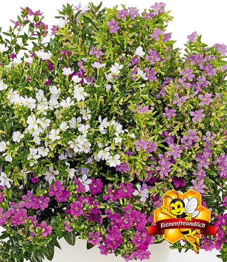 """Cuphea-Mix """"Nektarquelle"""", 3 Pflanzen"""
