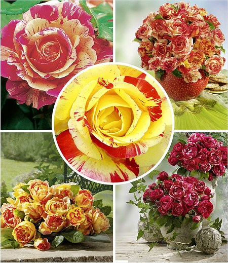 Delbard Große Malerrosen®-Kollektion,5 Pflanzen