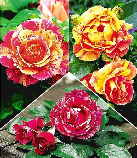 Delbard Kleine Malerrosen®-Kollektion,3 Pflanzen