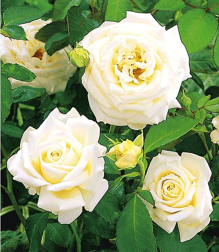"Delbard Kletter-Rose ""Blanche Colombe®"",1 Pflanze"
