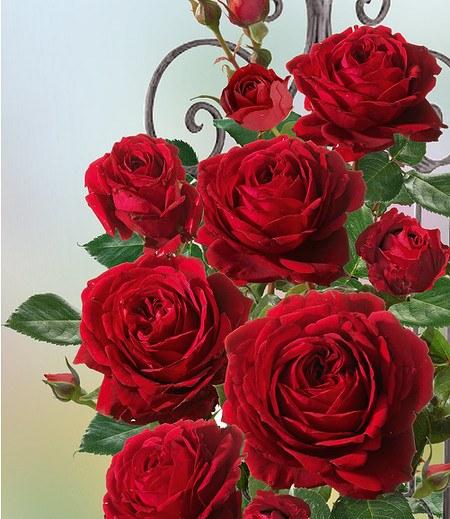 """Delbard Kletter-Rose """"Messire Delbard®"""",1 Pflanze"""