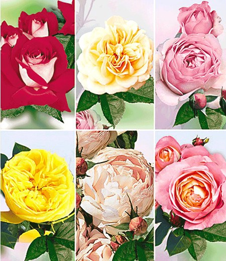"Delbard Kollektion ""Rosen d´Amour"",6 Pflanzen"