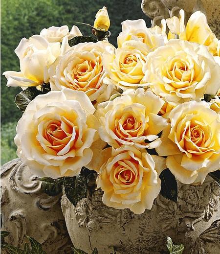 "Delbard Parfum-Rose ""Angie®"",1 Pflanze"