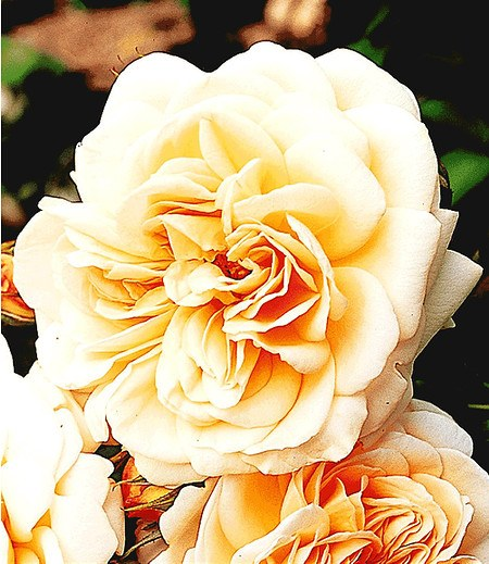 "Delbard Rose der Liebe ""Jardins de l´ Essonne®"",1 Pflanze"