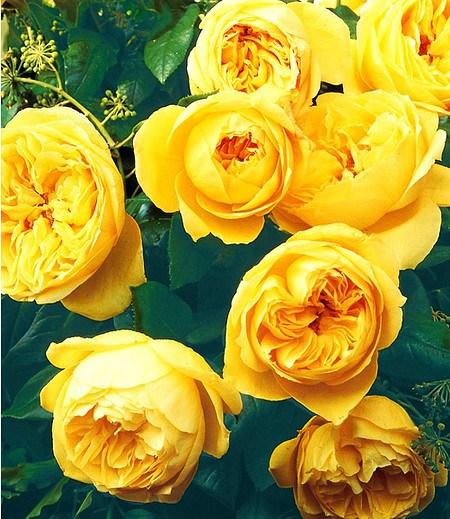 """Delbard Rose der Liebe """"Souvenir de Marcel Proust®"""",1 Pflanze"""
