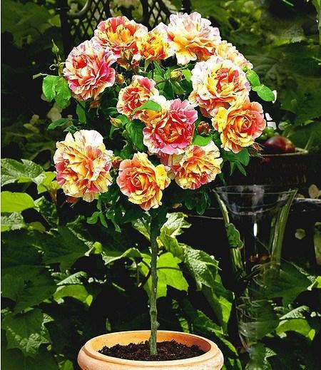 """Delbard Rosen-Stamm """"Claude Monet®"""",1 Stamm"""