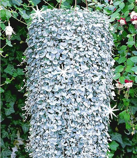 "Dichondra ""Silver Falls"",3 Pflanzen Hängepflanze für Balkon"