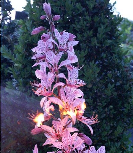 Dictamnus albus 'Brennender Busch', 1 Pflanze Diptam