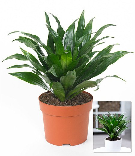 "Dracaena ""Compacta"",1 Pflanze"