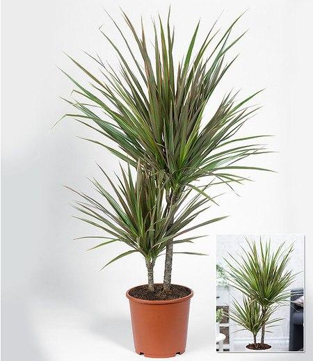 """Dracaena """"Marginata Bicolor"""" ca. 70 cm hoch,1 Pflanze"""