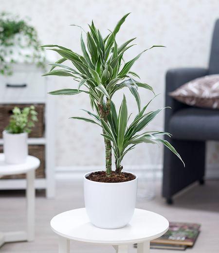 """Dracaena """"Warneckei"""",1 Pflanze"""