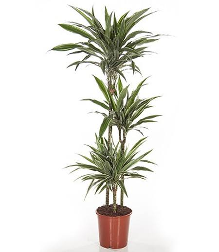 "Dracena ""Warneckei"" ca. 130 cmhoch,1 Pflanze"