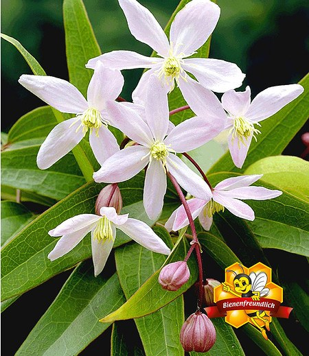 "Duft-Clematis ""Armandii"",1 Pflanze"
