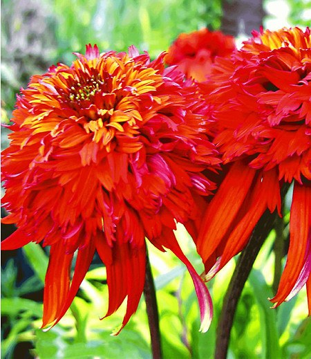 "Duft-Echinacea ""Hot Papaya"",1 Pflanze"
