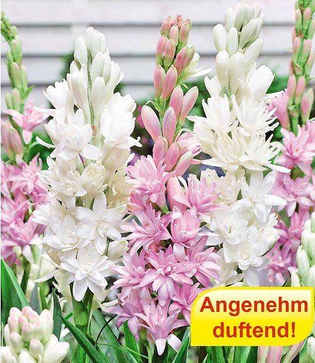 Duft-Tuberose The Pearl & PinkSaphier 3 Knollen