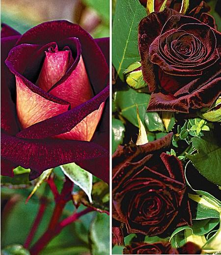 Duftende Edelrosen-Kollektion,2 Pflanzen